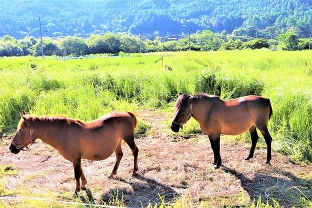 木曽馬の放牧