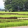 Photos: 色が異なる8種類の稲を使って表現