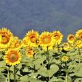 Photos: 太陽の動きにつれて咲くヒマワリ