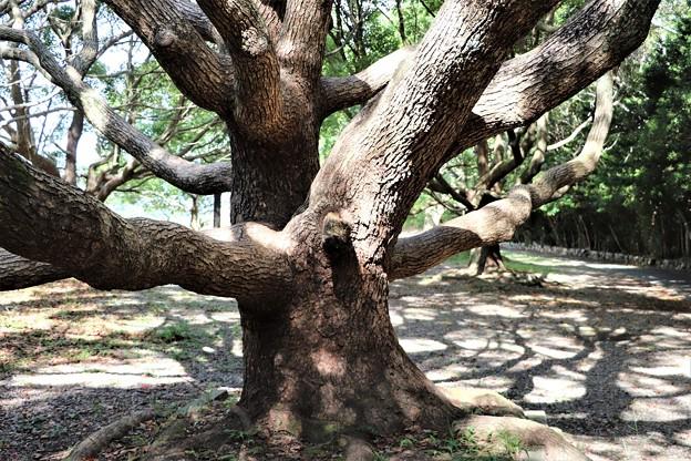 大木のタブ