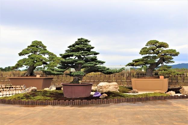 Photos: ウエルカムガーデンの大物盆栽