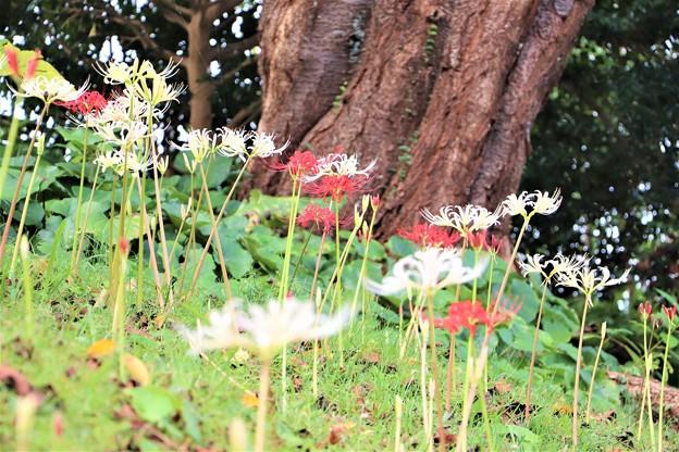 Photos: 紅白ヒガンバナ