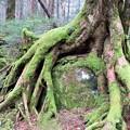 Photos: 苔むした神秘の森