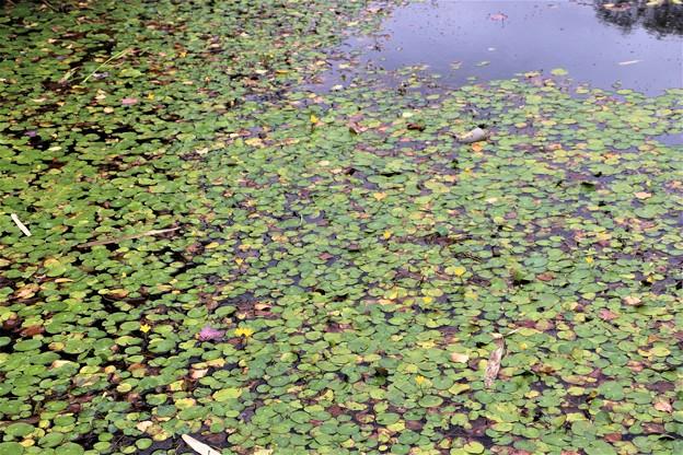 白樺湖畔にある人工湖「ミニレマン湖」のアサザ