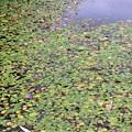 Photos: 白樺湖畔にある人工湖「ミニレマン湖」のアサザ