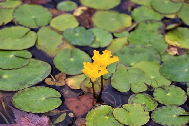 黄色いアサザの花