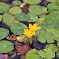 Photos: 黄色いアサザの花