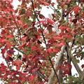 Photos: 楓の紅葉