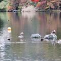 蓼科湖のカモ達