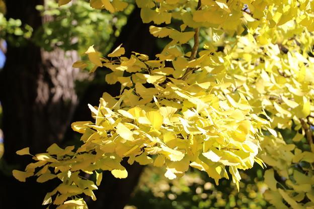 大イチョウの黄葉