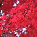 鮮烈な真っ赤な紅葉