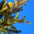 オハツキイチョウの黄葉