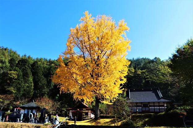 光り輝く長福寺の大銀杏
