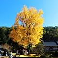 Photos: 光り輝く長福寺の大銀杏