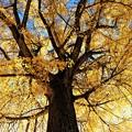 Photos: 高さ30メートルの巨樹