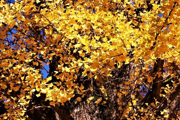 大銀杏の黄葉