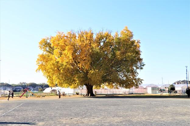 ちびっ子広場の「大和の大いちょう」