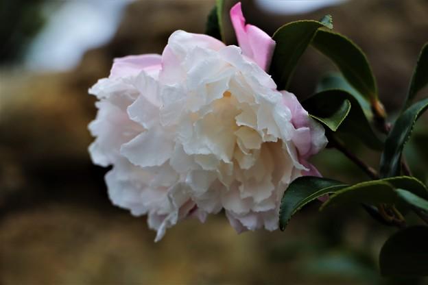 さざんか「桜月夜」