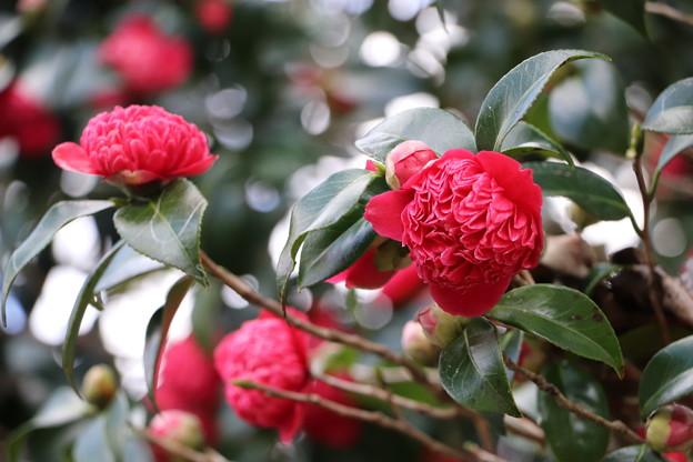 八重咲き椿「紅唐子」