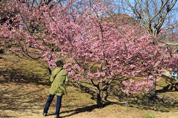 河津桜見物客