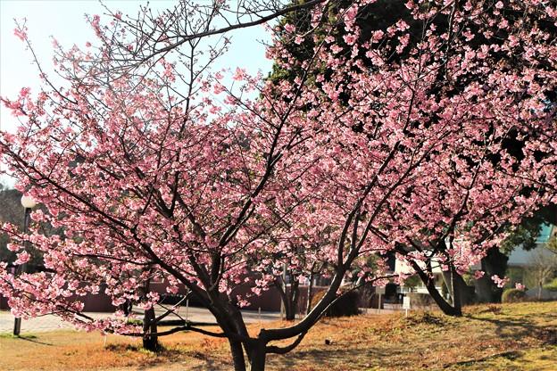 斜面に咲き誇る河津桜