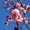 Photos: 梅花「桜狩」