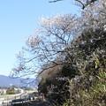 Photos: 牟呂用水の脇に咲く桜