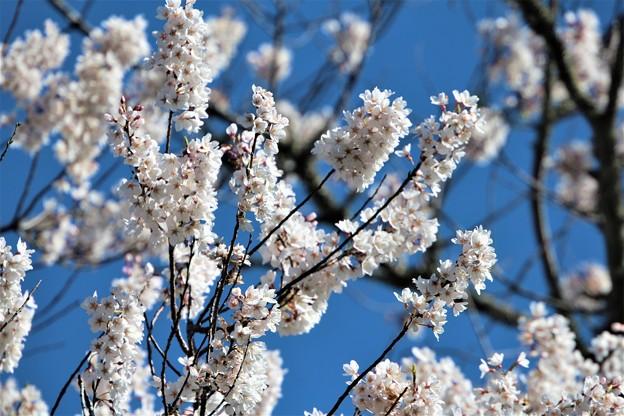 Photos: 早咲きの桜