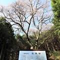 Photos: 樹齢約300年の「吉祥桜」