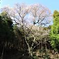 Photos: 山の斜面に立つ『吉祥桜』