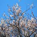 Photos: 吉祥桜