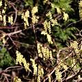 Photos: キブシの花