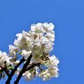 Photos: 桜「御室有明」
