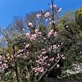 桜「兼六園熊谷」