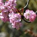 Photos: 桜「兼六園熊谷」