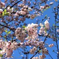 Photos: 桜「アメリカ」