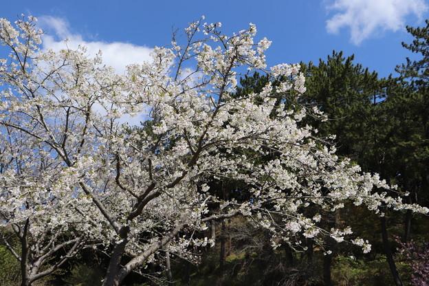 桜「御帝吉野