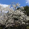 Photos: 桜「御帝吉野