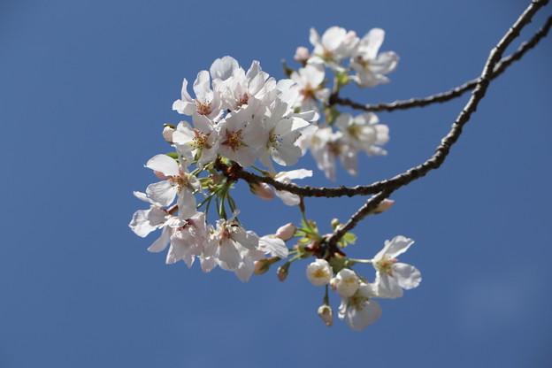 Photos: 桜「御帝吉野」