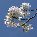 桜「御帝吉野」