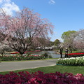 Photos: 桜「紅枝垂」