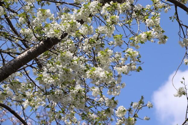 桜「オオシマザクラ」