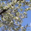 Photos: 桜「オオシマザクラ」