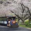 桜トンネルを行くフラワートレイン