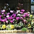 Photos: 蘭の花壇