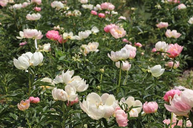 シャクヤクの花々