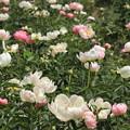 Photos: シャクヤクの花々
