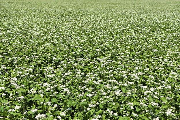 そば畑のそばの花一面
