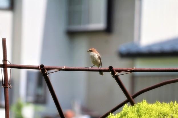 野鳥ゲット・「モズ」