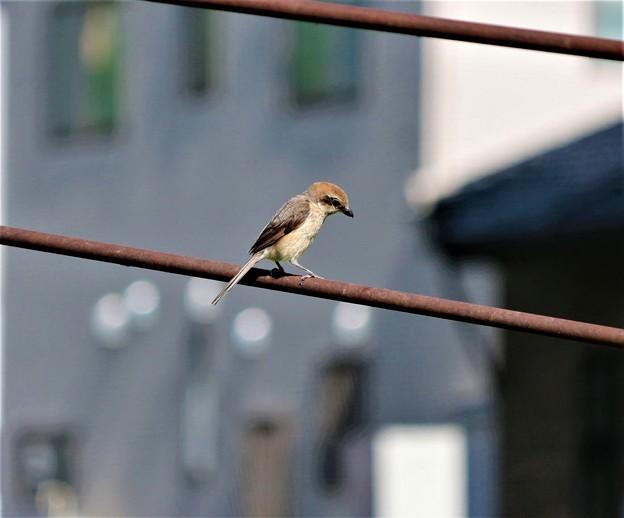 野鳥モズ・「トリミング」